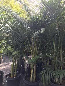 king_palm
